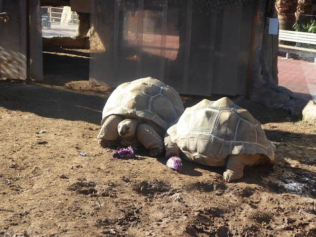 tartarughe nell'oceanografic di valencia