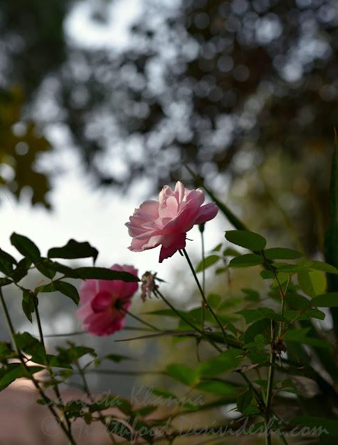 Damask roses