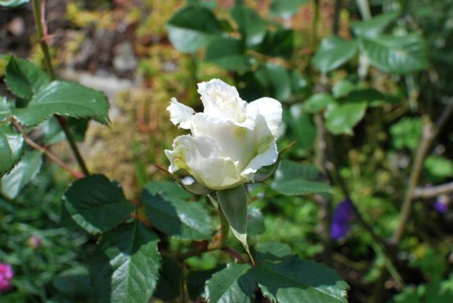 white Mrs Merrill rose