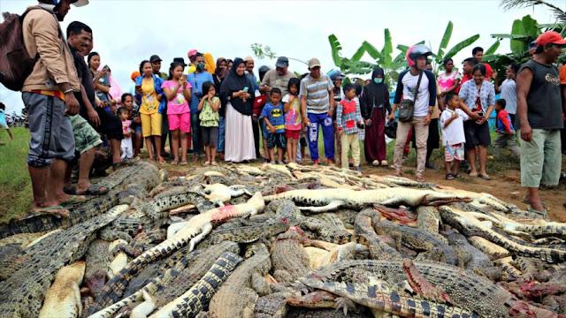 Indonesios 'masacran' a 300 cocodrilos por venganza