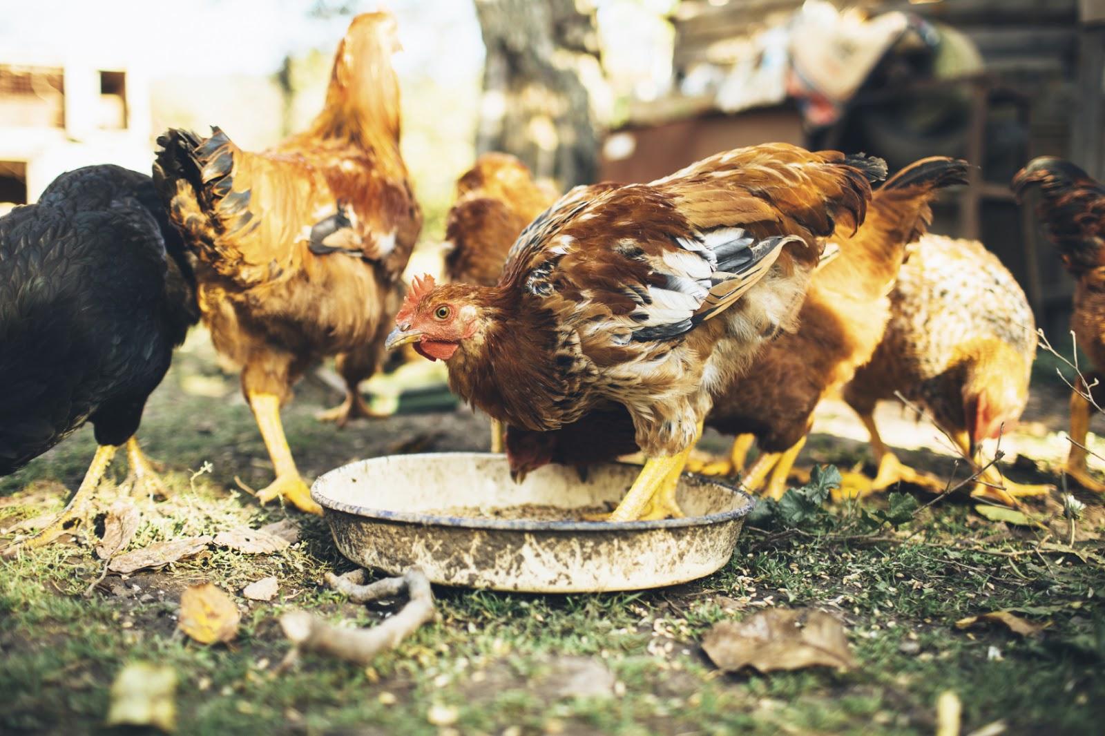 Homemade Chicken Feed Recipe