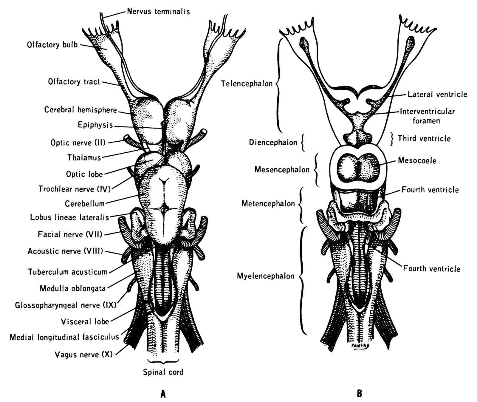 Cranial Nerve 13 and Cranial Nerve 14