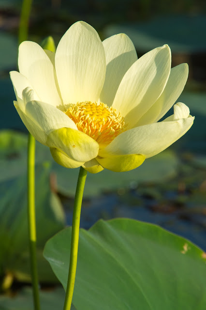 Water Lily, LLELA