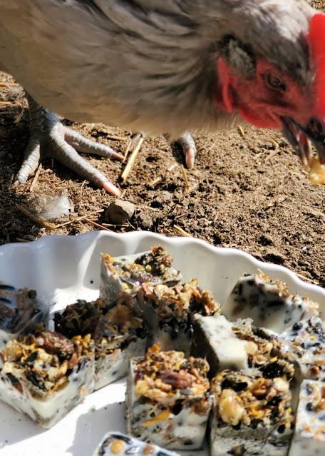 chicken eating snacks
