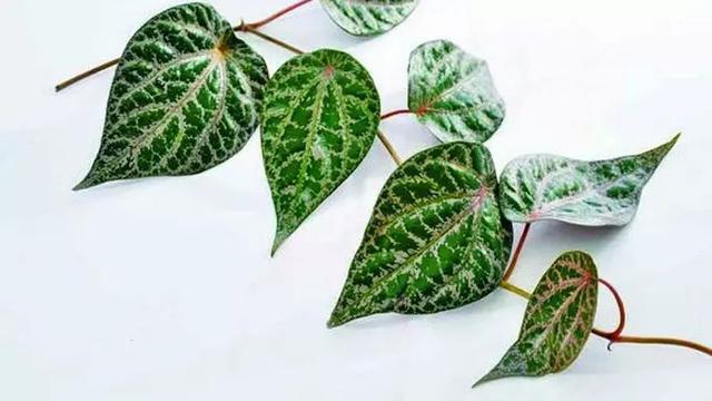 daun sirih merah