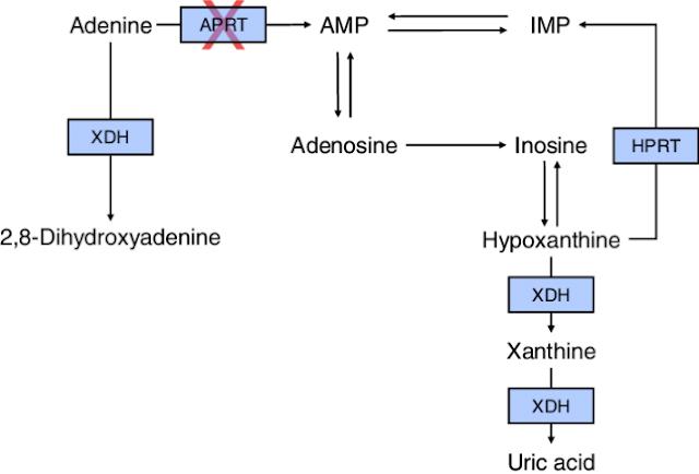 Adenine Phosphoribosyltransferase Deficiency: Genetics Home Reference
