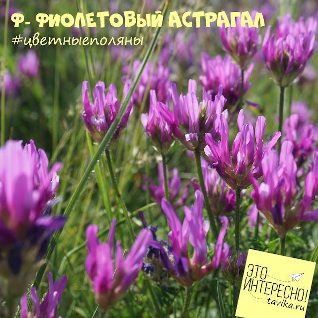цветущий астрагал, Крым