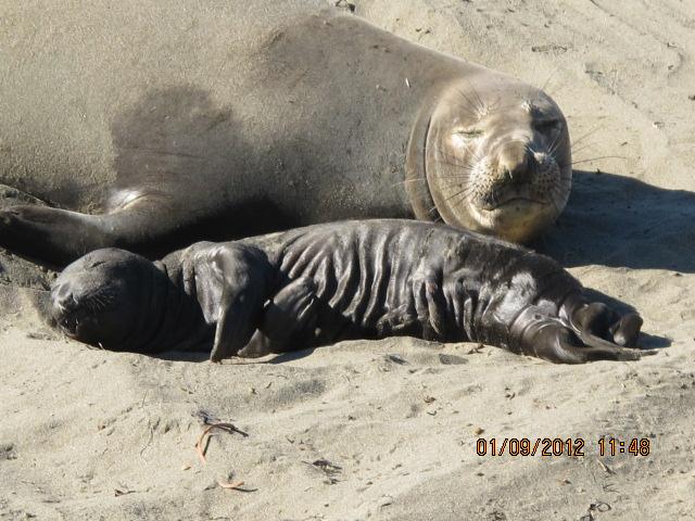 Elephant Seals Of Piedras Blancas The Seal Lullaby