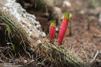 cactus de argentina