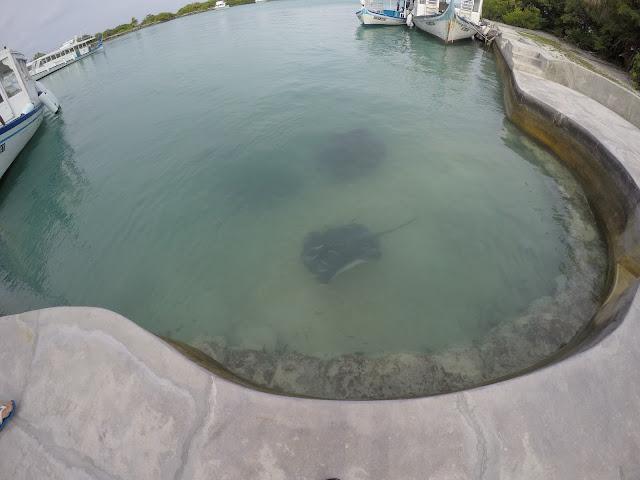 razze e squali del reef maldive