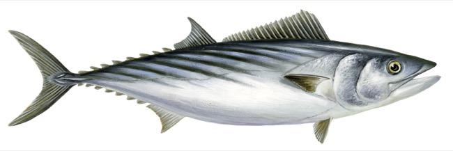 Peixe Bonito (Sarda sarda)
