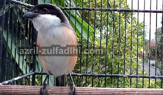 Foto Burung Cendet Jawa Barat