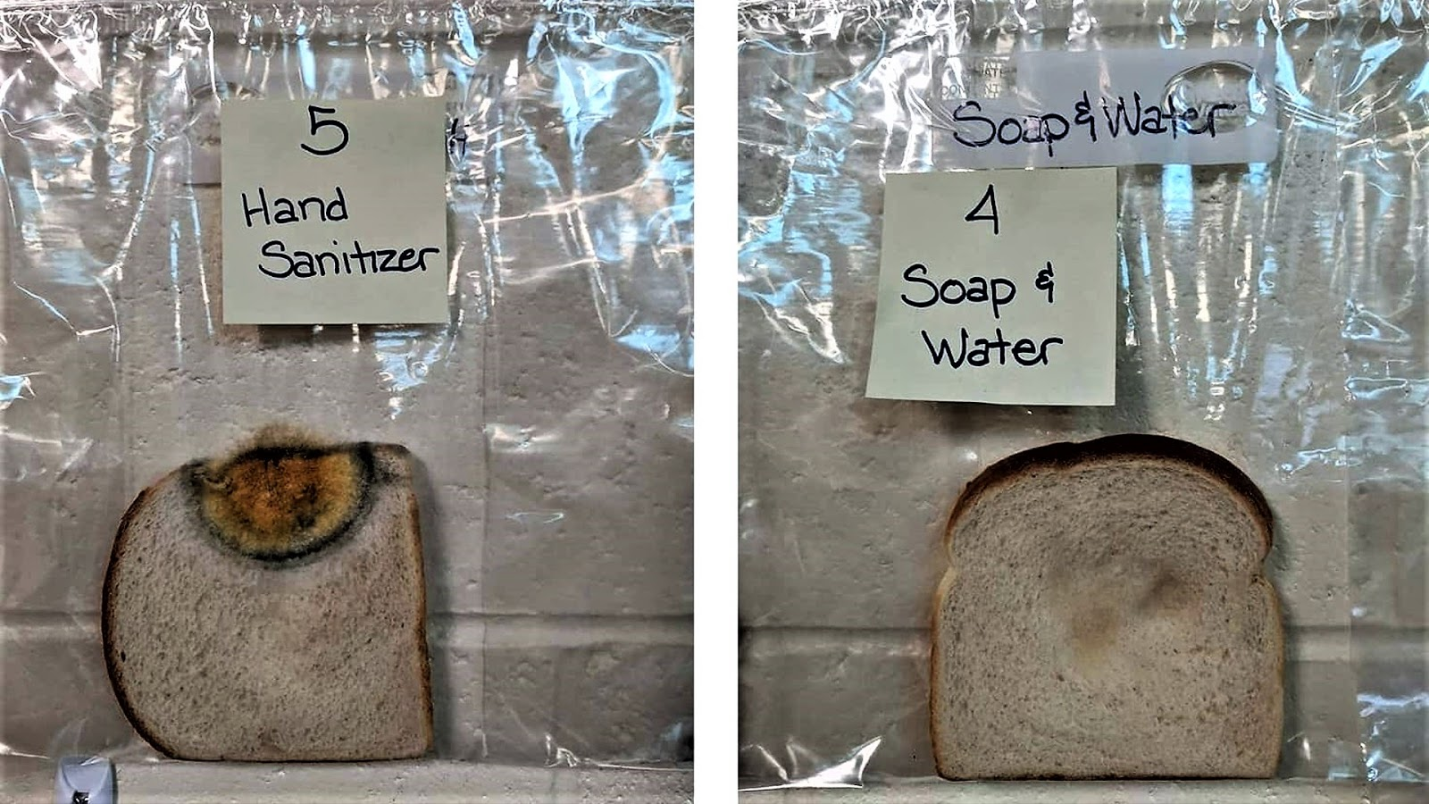 On the left is a slice of bread that the children touched after hand disinfection. On the right is a slice that was touched by students who washed their hands with soap.