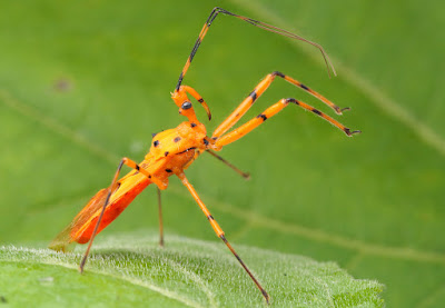 A New Assassin Bug from Tibet