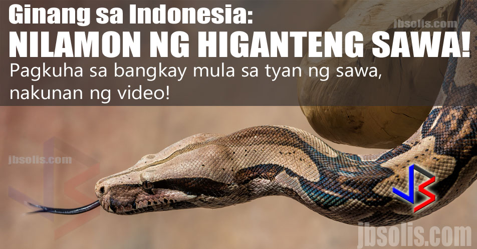 An Indonesian woman who was reported missing by her two children has been found in the belly of a giant python. The swollen snake was captured near where villagers found her machete and sandals among other things. She vanished while tending her vegetable garden in the late hours of Thursday, police said. Videos of the moment the villagers recovered her body from the dead python is circulating on the internet. Be warned that the video at the end of this article is very graphic.  The body of 54-year-old Wa Tiba was found on Friday when villagers cut open the seven-metre (27ft) python which was found bloated in the village of Persiapan Lawela on the island of Muna, off Sulawesi.    Residents suspected the snake swallowed the victim whole, so they killed it and the snake's belly was cut open. The body of the victim was found inside amid cries from relatives.    Residents and relatives launched a search for the woman after she failed to return from her garden on Thursday night. Hamka said villagers found the giant serpent lying about 30 metres from Tiba's sandals and machete.    The garden in which she disappeared was at the base of a rocky cliff, pockmarked by caves, and known to be home to snakes. Giant pythons, which easily grows to more than six meters, are commonly found in Indonesia and the Philippines. Pythons known to attack small animals, attempts to eat people are rare. Last year, a farmer was killed by a python in the village of Salubiro on Sulawesi island. In 2013, a security guard on the island of Bali was killed by a python at a luxury beachfront hotel.  GRAPHIC WARNING: The video below shows the actual moment that the villagers slice open the captured python. The video is NOT BLURRED OUT. DO NOT WATCH IF YOU OR ANYONE AROUND YOU ARE NOT COMFORTABLE WITH SEEING IMAGES OR VIDEOS OF DEAD PEOPLE. Scroll down to see the video - after the links.