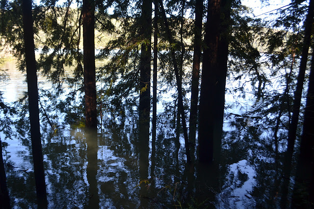 drowning redwoods