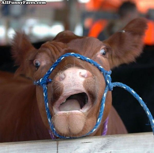 Cow   Funniest New Images-Photos   Funny And Cute Animals