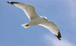 معنى طائر النورس في الحلم
