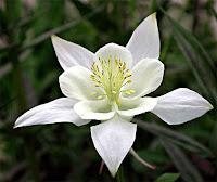 Tek bir beyaz haseki küpesi çiçeği