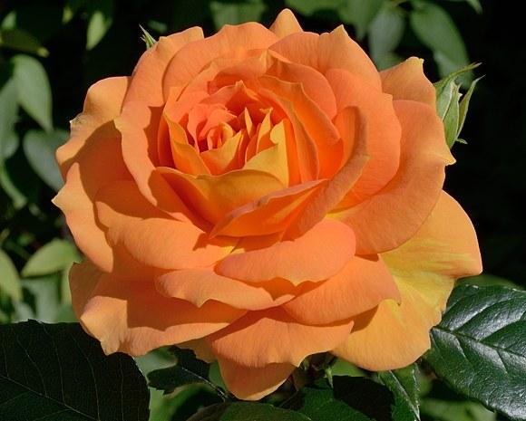 Goldelse сорт розы Тантау купить саженцы Минск фото