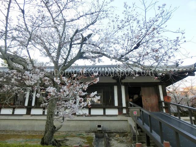 Japan cherry blossoms