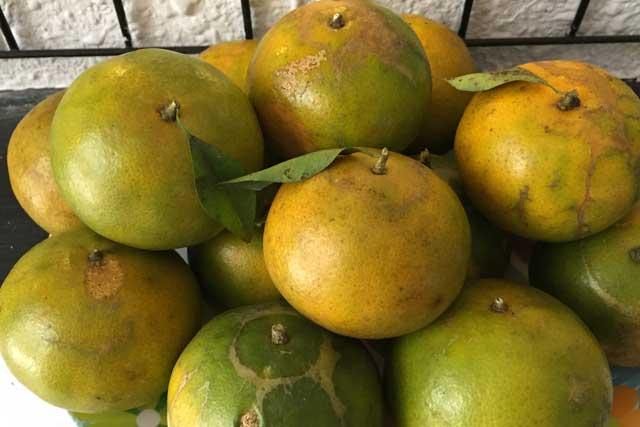 trái quýt bắt đầu thu hoạch vào tháng 9 và rộ vaò dịp tết
