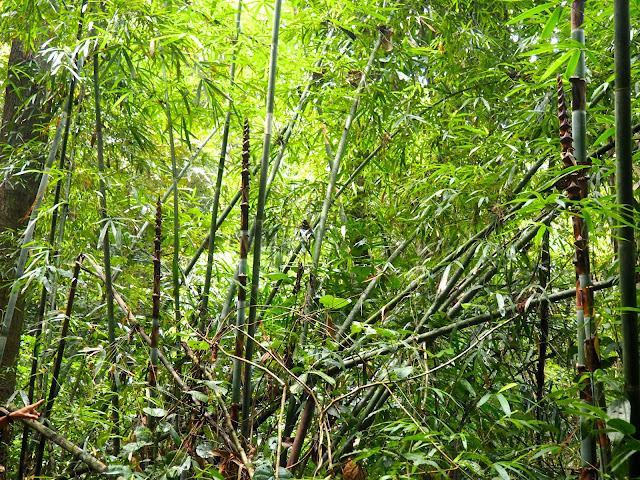 Bamboo on jungle trek near Cheow Lan Lake, Khao Sok National Park, Thailand