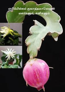 Epiphyllum guatemalense flower fruit