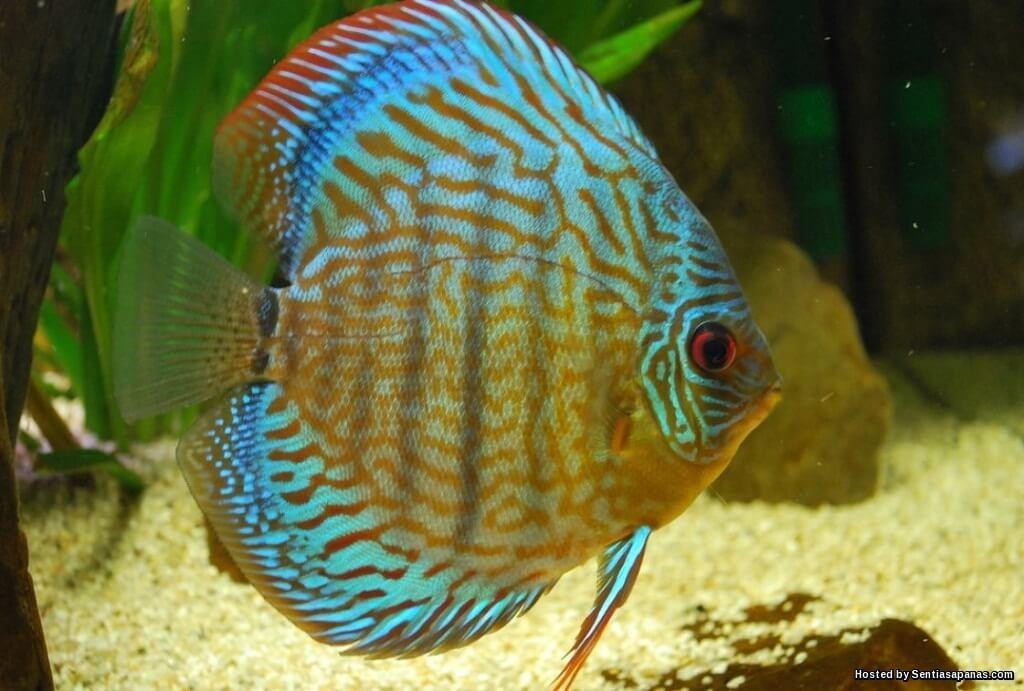 7 Spesis Ikan Hiasan Paling Popular Di Malaysia