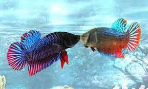 Cara Merawat Ikan Cupang Aduan Agar Menang ~ Study Case 2018