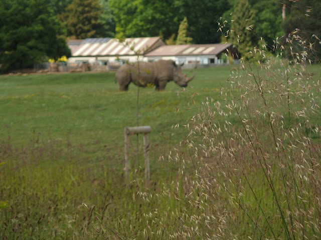 A hippo roaming the plains at Cotswold Wildlife Park