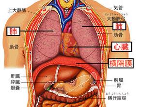 図:肺 心臓 横隔膜