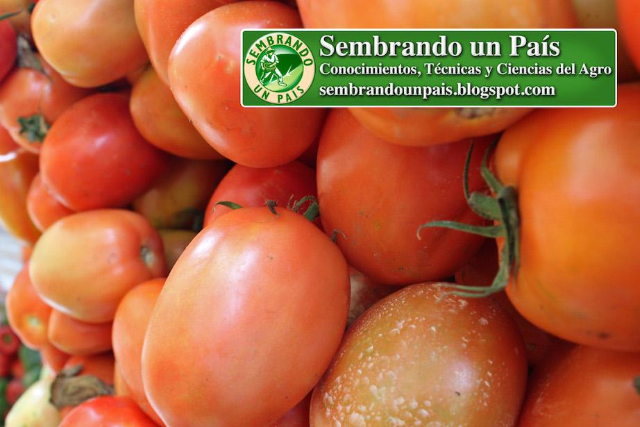 hermosos tomates en mercado