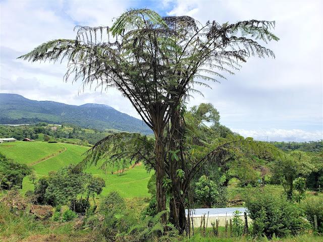 dicksoniacea dicksonia sp. tree costa rica