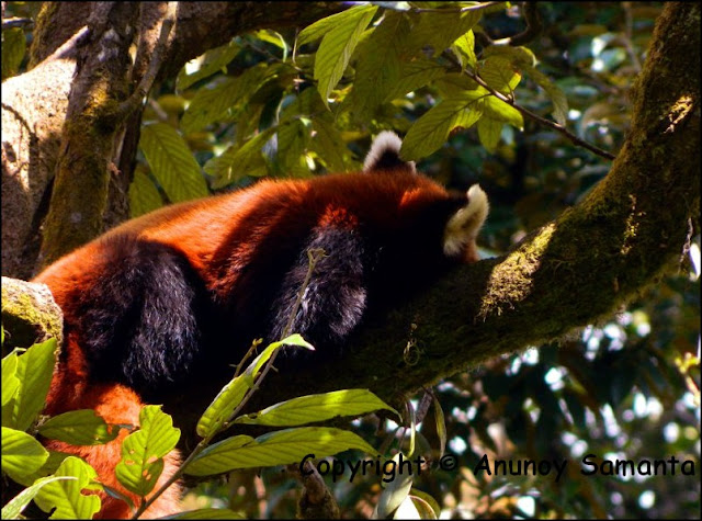 A failed Trip to Darjeeling - leisurely walk inside the Himalayan Zoological Park