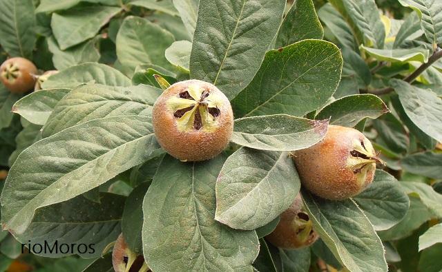 Frutos de Nisperero níspero Mespilus germanica