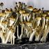 Bareskrim Polri Ungkap Narkoba Jenis Magic Mushroom