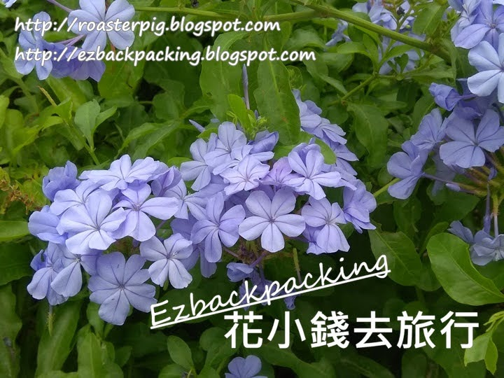 香港藍雪花