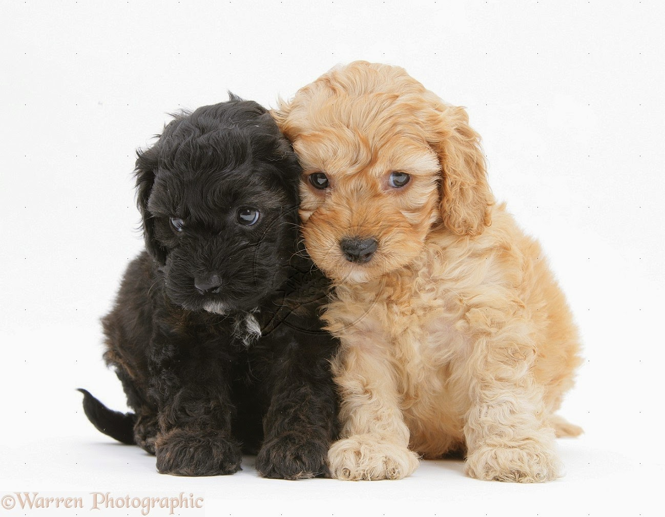 Rules of the Jungle: Cockapoo puppies