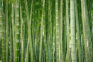 bambu hias jepang
