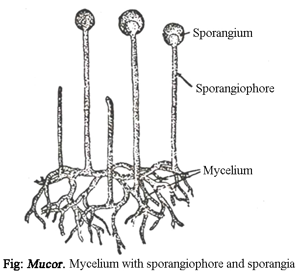 Mucor reproduction. Mucor : Occurrence, Reproduction