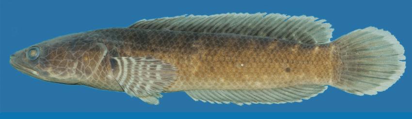 Channa Kelaarti - 50 Jenis Ikan Channa Beserta Harga Terbarunya