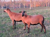 mouton cameroun adulte pelage hiver