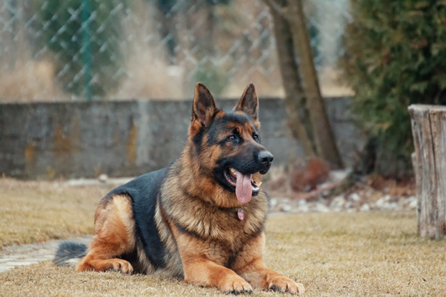 animal-animal-photography-blur-breed-german-shepherd