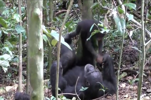 A chimpanzee plays with his baby, It's a good moment of voluptuous comfort