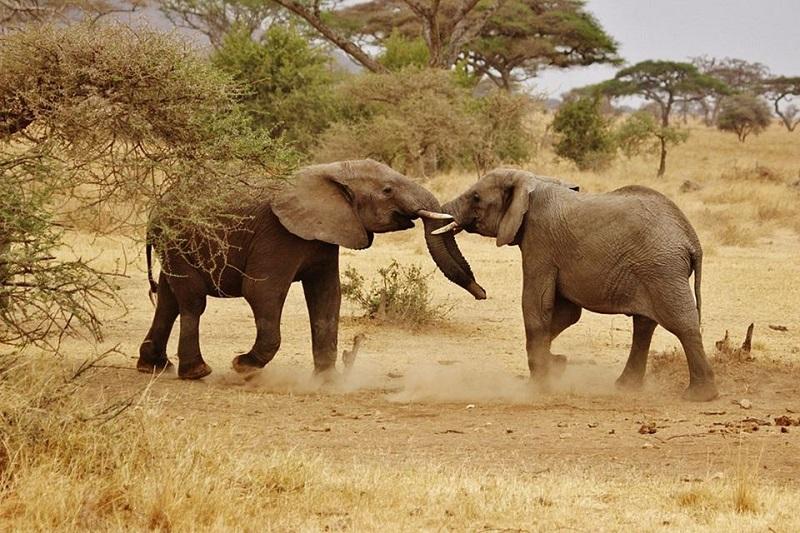 Elefanti safari Tanzania