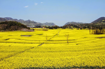 Blooming canola terraces a new tourism draw for Yen Bai