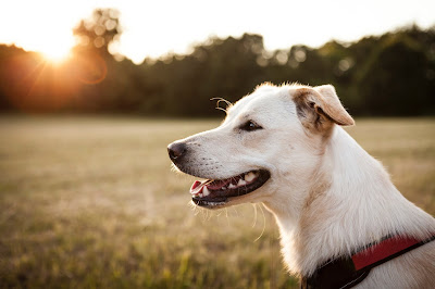 A photo of a dog in a red collar with the sun setting in the background