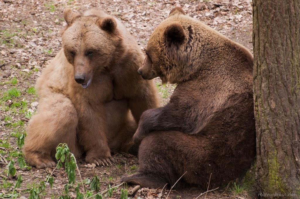 <b>Brown Bears</b> Ouwehands Dierenpark