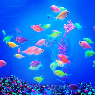 Glofish tetras from Petsmart pet store